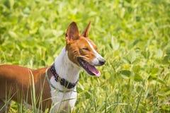 Basenji-Hund auf dem Sojabohnenfeld Stockfotos