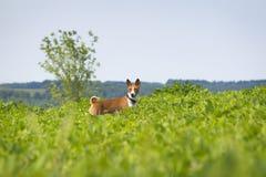 Basenji-Hund auf dem Sojabohnenfeld Lizenzfreie Stockfotos
