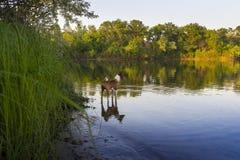 Basenji Hund auf der Flussbank Lizenzfreies Stockfoto
