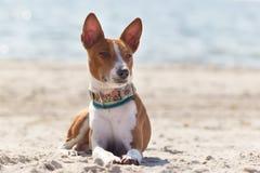 Basenji-Hund auf der Küste Sonniger Tag Steine im Ozeanwasser Stockfoto
