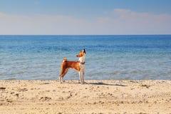 Basenji-Hund auf der Küste Sonniger Tag Steine im Ozeanwasser Lizenzfreies Stockfoto