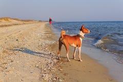 Basenji-Hund auf der Küste Sonniger Tag Steine im Ozeanwasser Lizenzfreie Stockbilder