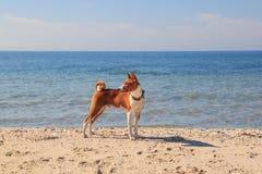 Basenji-Hund auf der Küste Sonniger Tag Steine im Ozeanwasser Stockbilder