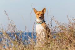 Basenji-Hund auf der Küste Sonniger Tag Steine im Ozeanwasser Lizenzfreies Stockbild