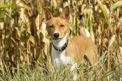 Basenji-Hund auf einem Gebiet Lizenzfreies Stockbild