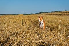Basenji-Hund auf schrägem Feld des Weizens Stockfotografie
