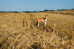 Basenji-Hund auf schrägem Feld des Weizens Lizenzfreie Stockfotografie