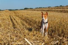 Basenji-Hund auf schrägem Feld des Weizens Stockfoto