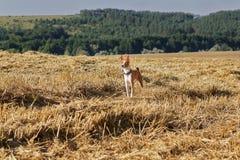 Basenji-Hund auf schrägem Feld des Weizens Stockfotos