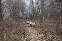 Basenji-Hund, der in den Park geht Stockbild