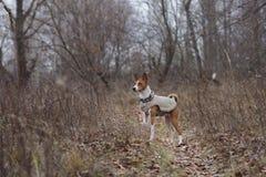Basenji-Hund, der in den Park geht Stockfotografie