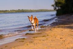 Basenji Hund, der entlang den Strand läuft Stockbilder