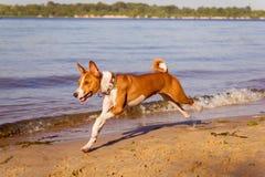 Basenji Hund, der entlang den Strand läuft Lizenzfreie Stockfotos