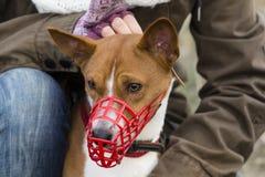 Basenji-Hund in einer Mündung für das Kursieren Lizenzfreie Stockbilder