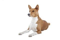 Basenji hund eller afrikan Nela Royaltyfri Fotografi
