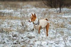 Basenji-Hund geht auf dem Gebiet Winter ist nicht viel Schnee auf t Stockbild