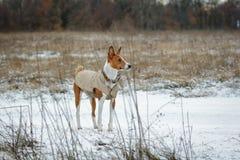 Basenji-Hund geht auf dem Gebiet Winter ist nicht viel Schnee auf t Lizenzfreie Stockfotografie