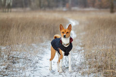 Basenji-Hund geht auf dem Gebiet Winter ist nicht viel Schnee auf t Lizenzfreies Stockfoto