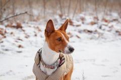 Basenji-Hund geht auf dem Gebiet Winter ist nicht viel Schnee auf t Stockfoto