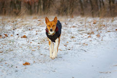 Basenji-Hund geht auf dem Gebiet Winter ist nicht viel Schnee auf t Stockfotografie