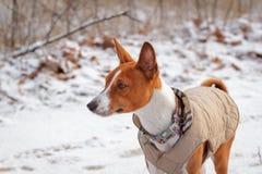 Basenji-Hund geht auf dem Gebiet Winter ist nicht viel Schnee auf t Lizenzfreie Stockbilder