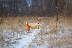 Basenji-Hund geht auf dem Gebiet Winter ist nicht viel Schnee auf t Lizenzfreies Stockbild