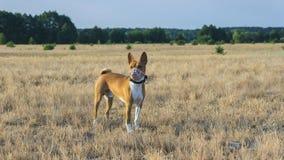 Basenji hund i ett fält i en tysta ned för att jaga Arkivbilder