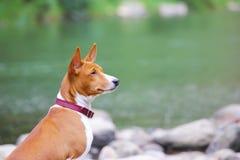 Basenji hund på floden Fullblods- ursnygg hund Arkivbilder