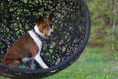Basenji hund på utomhus- gräs royaltyfri bild