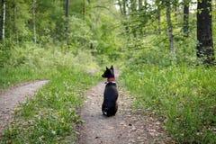 Basenji-Hund sitzt auf einer Bahn im Wald an einem hei?en Sommertag lizenzfreie stockfotografie