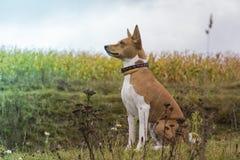 Basenji-Hund sitzt unter Feldern Lizenzfreie Stockfotos
