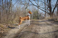 Basenji hund som går i parkera Royaltyfria Bilder