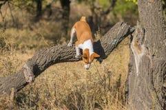 Basenji hund som hoppar av från det mest nearest trädet på nedgångskogen Royaltyfri Fotografi