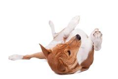 Basenji hund som isoleras på vit Royaltyfri Bild
