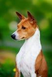 Basenji hund utanför på grönt gräs Fotografering för Bildbyråer