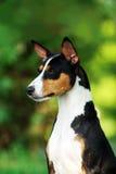 Basenji hund utanför på grönt gräs Arkivfoton