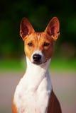 Basenji hund utanför på grönt gräs Royaltyfri Bild