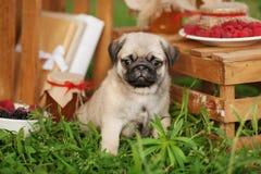 Basenji hund utanför på grönt gräs Royaltyfria Bilder