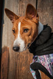 Basenji-Hundeporträt in der Winterkleidung Lizenzfreie Stockbilder