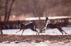 Basenji hundkapplöpning Fotografering för Bildbyråer
