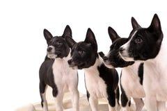Basenji hundkapplöpningvalp Fotografering för Bildbyråer