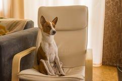 Basenji hundsammanträde i en stol efter hårt hem- dag som är ensam och väntar på förlagen royaltyfria bilder