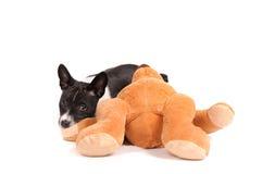 Basenji hundvalp med leksaken Fotografering för Bildbyråer