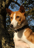 Basenji hunter on the lookout Stock Photos