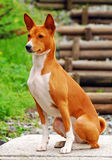 Basenji hunting dog Royalty Free Stock Photo