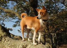 Basenji hunting dog. The ancient Central African breed of hunting dog, the Basenji. An attractive and intelligent dog the Basenji is now a popular pet in the USA Stock Photo