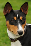 Basenji hunting dog Royalty Free Stock Images