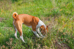 Basenji hunting for rodent Royalty Free Stock Photos