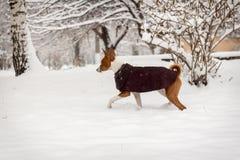 Basenji im Schnee Stockbild
