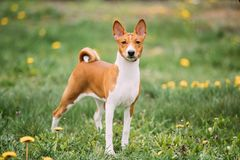 Basenji Kongo Terrier Dog. The Basenji Is A Breed Of Hunting Dog. It Was Bred From Stock That Originated In Central Africa stock images